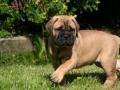 Indy puppy